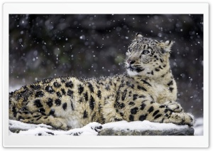 Beautiful Snow Leopard Wild Animal, Snowflakes, Winter HD Wide Wallpaper for 4K UHD Widescreen desktop & smartphone