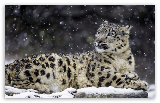 Beautiful Snow Leopard Wild Animal, Snowflakes, Winter UltraHD Wallpaper for Wide 16:10 5:3 Widescreen WHXGA WQXGA WUXGA WXGA WGA ; UltraWide 21:9 24:10 ; 8K UHD TV 16:9 Ultra High Definition 2160p 1440p 1080p 900p 720p ; UHD 16:9 2160p 1440p 1080p 900p 720p ; Standard 4:3 5:4 3:2 Fullscreen UXGA XGA SVGA QSXGA SXGA DVGA HVGA HQVGA ( Apple PowerBook G4 iPhone 4 3G 3GS iPod Touch ) ; Smartphone 16:9 3:2 5:3 2160p 1440p 1080p 900p 720p DVGA HVGA HQVGA ( Apple PowerBook G4 iPhone 4 3G 3GS iPod Touch ) WGA ; Tablet 1:1 ; iPad 1/2/Mini ; Mobile 4:3 5:3 3:2 16:9 5:4 - UXGA XGA SVGA WGA DVGA HVGA HQVGA ( Apple PowerBook G4 iPhone 4 3G 3GS iPod Touch ) 2160p 1440p 1080p 900p 720p QSXGA SXGA ;
