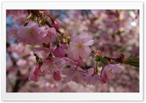 Beautiful Spring Blossom HD Wide Wallpaper for Widescreen