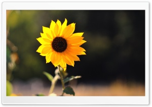 Beautiful Sunflower HD Wide Wallpaper for Widescreen