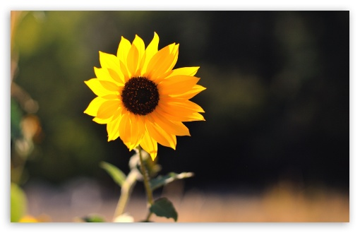 Beautiful Sunflower HD wallpaper for Standard 4:3 5:4 Fullscreen UXGA XGA SVGA QSXGA SXGA ; Wide 16:10 5:3 Widescreen WHXGA WQXGA WUXGA WXGA WGA ; HD 16:9 High Definition WQHD QWXGA 1080p 900p 720p QHD nHD ; Other 3:2 DVGA HVGA HQVGA devices ( Apple PowerBook G4 iPhone 4 3G 3GS iPod Touch ) ; Mobile VGA WVGA iPhone iPad PSP Phone - VGA QVGA Smartphone ( PocketPC GPS iPod Zune BlackBerry HTC Samsung LG Nokia Eten Asus ) WVGA WQVGA Smartphone ( HTC Samsung Sony Ericsson LG Vertu MIO ) HVGA Smartphone ( Apple iPhone iPod BlackBerry HTC Samsung Nokia ) Sony PSP Zune HD Zen ; Tablet 2 Android 3 DVGA HVGA HQVGA devices ( Apple PowerBook G4 iPhone 4 3G 3GS iPod Touch ) ;