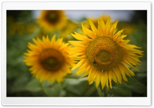 Beautiful Sunflowers HD Wide Wallpaper for Widescreen
