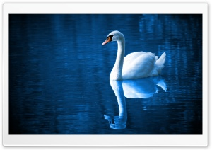Beautiful Swan HD Wide Wallpaper for Widescreen