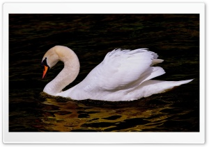 Beautiful Swan Bird Ultra HD Wallpaper for 4K UHD Widescreen desktop, tablet & smartphone