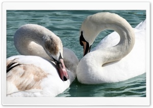 Beautiful Swans HD Wide Wallpaper for Widescreen