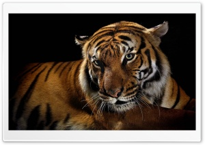 Beautiful Tiger HD Wide Wallpaper for Widescreen