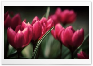 Beautiful Tulips HD Wide Wallpaper for Widescreen