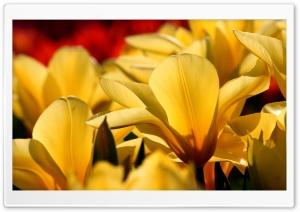 Beautiful Tulips. yellow and red HD Wide Wallpaper for Widescreen