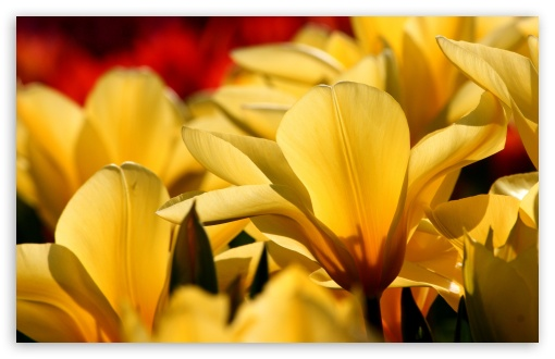 Beautiful Tulips. yellow and red ❤ 4K UHD Wallpaper for Wide 16:10 5:3 Widescreen WHXGA WQXGA WUXGA WXGA WGA ; 4K UHD 16:9 Ultra High Definition 2160p 1440p 1080p 900p 720p ; Standard 4:3 5:4 3:2 Fullscreen UXGA XGA SVGA QSXGA SXGA DVGA HVGA HQVGA ( Apple PowerBook G4 iPhone 4 3G 3GS iPod Touch ) ; Tablet 1:1 ; iPad 1/2/Mini ; Mobile 4:3 5:3 3:2 16:9 5:4 - UXGA XGA SVGA WGA DVGA HVGA HQVGA ( Apple PowerBook G4 iPhone 4 3G 3GS iPod Touch ) 2160p 1440p 1080p 900p 720p QSXGA SXGA ;