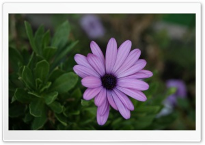 Beautiful Violet Flower HD Wide Wallpaper for Widescreen