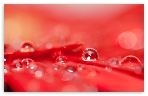 Beautiful Water Drops On A Red Flower HD wallpaper for Wide 16:10 5:3 Widescreen WHXGA WQXGA WUXGA WXGA WGA ; HD 16:9 High Definition WQHD QWXGA 1080p 900p 720p QHD nHD ; Standard 4:3 5:4 3:2 Fullscreen UXGA XGA SVGA QSXGA SXGA DVGA HVGA HQVGA devices ( Apple PowerBook G4 iPhone 4 3G 3GS iPod Touch ) ; Tablet 1:1 ; iPad 1/2/Mini ; Mobile 4:3 5:3 3:2 16:9 5:4 - UXGA XGA SVGA WGA DVGA HVGA HQVGA devices ( Apple PowerBook G4 iPhone 4 3G 3GS iPod Touch ) WQHD QWXGA 1080p 900p 720p QHD nHD QSXGA SXGA ; Dual 16:10 5:3 16:9 4:3 5:4 WHXGA WQXGA WUXGA WXGA WGA WQHD QWXGA 1080p 900p 720p QHD nHD UXGA XGA SVGA QSXGA SXGA ;