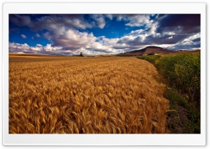 Beautiful Wheat Field HDR Ultra HD Wallpaper for 4K UHD Widescreen desktop, tablet & smartphone