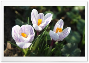 Beautiful White Crocuses HD Wide Wallpaper for Widescreen