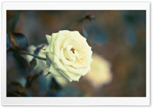Beautiful White Rose HD Wide Wallpaper for Widescreen
