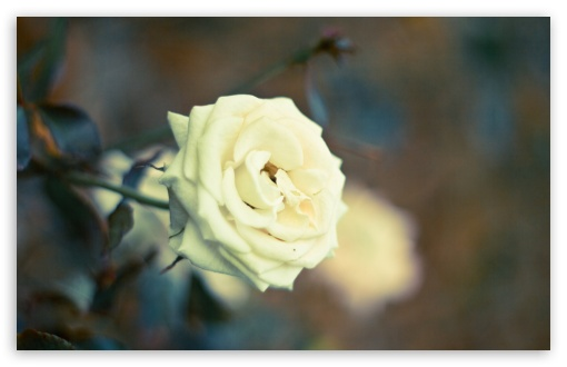 Beautiful White Rose ❤ 4K UHD Wallpaper for Wide 16:10 5:3 Widescreen WHXGA WQXGA WUXGA WXGA WGA ; 4K UHD 16:9 Ultra High Definition 2160p 1440p 1080p 900p 720p ; Standard 4:3 5:4 3:2 Fullscreen UXGA XGA SVGA QSXGA SXGA DVGA HVGA HQVGA ( Apple PowerBook G4 iPhone 4 3G 3GS iPod Touch ) ; Tablet 1:1 ; iPad 1/2/Mini ; Mobile 4:3 5:3 3:2 16:9 5:4 - UXGA XGA SVGA WGA DVGA HVGA HQVGA ( Apple PowerBook G4 iPhone 4 3G 3GS iPod Touch ) 2160p 1440p 1080p 900p 720p QSXGA SXGA ; Dual 4:3 5:4 UXGA XGA SVGA QSXGA SXGA ;