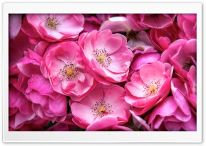 Beautiful Wild Roses HD Wide Wallpaper for Widescreen