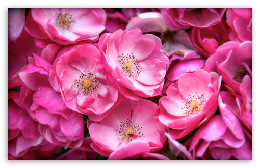 Beautiful Wild Roses HD wallpaper for Standard 4:3 5:4 Fullscreen UXGA XGA SVGA QSXGA SXGA ; Wide 16:10 5:3 Widescreen WHXGA WQXGA WUXGA WXGA WGA ; HD 16:9 High Definition WQHD QWXGA 1080p 900p 720p QHD nHD ; Other 3:2 DVGA HVGA HQVGA devices ( Apple PowerBook G4 iPhone 4 3G 3GS iPod Touch ) ; Mobile VGA WVGA iPhone iPad PSP Phone - VGA QVGA Smartphone ( PocketPC GPS iPod Zune BlackBerry HTC Samsung LG Nokia Eten Asus ) WVGA WQVGA Smartphone ( HTC Samsung Sony Ericsson LG Vertu MIO ) HVGA Smartphone ( Apple iPhone iPod BlackBerry HTC Samsung Nokia ) Sony PSP Zune HD Zen ; Tablet 2 Android 3 DVGA HVGA HQVGA devices ( Apple PowerBook G4 iPhone 4 3G 3GS iPod Touch ) ; Dual 4:3 5:4 16:10 5:3 16:9 UXGA XGA SVGA QSXGA SXGA WHXGA WQXGA WUXGA WXGA WGA WQHD QWXGA 1080p 900p 720p QHD nHD ;