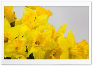 Beautiful Yellow Daffodils Flowers Spring Ultra HD Wallpaper for 4K UHD Widescreen desktop, tablet & smartphone