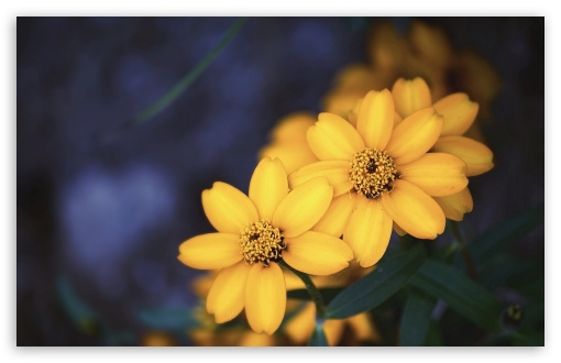 Beautiful Yellow Flowers HD wallpaper for Wide 16:10 5:3 Widescreen WHXGA WQXGA WUXGA WXGA WGA ; HD 16:9 High Definition WQHD QWXGA 1080p 900p 720p QHD nHD ; UHD 16:9 WQHD QWXGA 1080p 900p 720p QHD nHD ; Standard 4:3 5:4 3:2 Fullscreen UXGA XGA SVGA QSXGA SXGA DVGA HVGA HQVGA devices ( Apple PowerBook G4 iPhone 4 3G 3GS iPod Touch ) ; Smartphone 5:3 WGA ; Tablet 1:1 ; iPad 1/2/Mini ; Mobile 4:3 5:3 3:2 16:9 5:4 - UXGA XGA SVGA WGA DVGA HVGA HQVGA devices ( Apple PowerBook G4 iPhone 4 3G 3GS iPod Touch ) WQHD QWXGA 1080p 900p 720p QHD nHD QSXGA SXGA ;