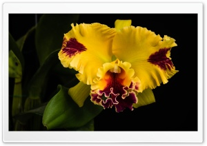 Beautiful Yellow Orchid HD Wide Wallpaper for Widescreen