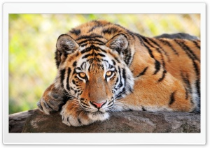 Beautiful Young Tiger HD Wide Wallpaper for Widescreen