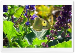 Beauty Butterfly HD Wide Wallpaper for Widescreen