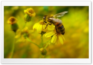 Bee HD Wide Wallpaper for 4K UHD Widescreen desktop & smartphone