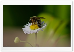 Bee Ultra HD Wallpaper for 4K UHD Widescreen desktop, tablet & smartphone