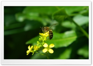 Bee HD Wide Wallpaper for Widescreen