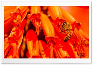 Bee, Aloe Flower HD Wide Wallpaper for Widescreen