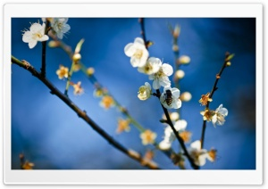 Bee And Spring Blossom HD Wide Wallpaper for Widescreen