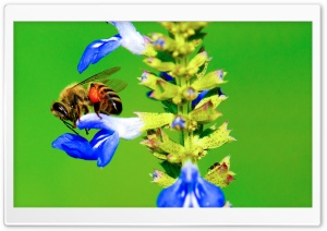Bee, Ant, Blue Flower HD Wide Wallpaper for Widescreen