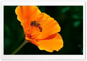 Bee, California Poppy Flower HD Wide Wallpaper for 4K UHD Widescreen desktop & smartphone