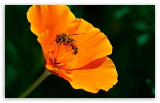 Bee california poppy flower 4k hd desktop wallpaper for 4k ultra bee california poppy flower wallpaper for wide 1610 5 mightylinksfo