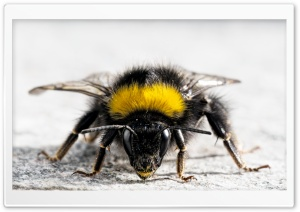 Bee Close Up HD Wide Wallpaper for Widescreen