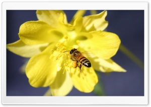 Bee Collecting Pollen HD Wide Wallpaper for 4K UHD Widescreen desktop & smartphone