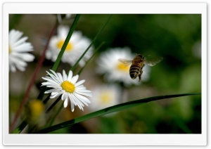 Bee Flying HD Wide Wallpaper for Widescreen