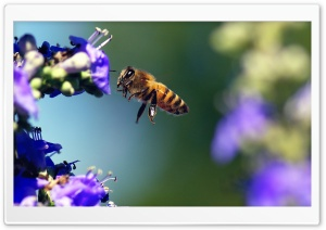 Bee Insect HD Wide Wallpaper for Widescreen