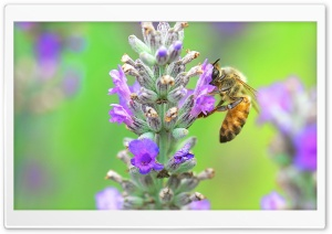 Bee, Lavender HD Wide Wallpaper for 4K UHD Widescreen desktop & smartphone