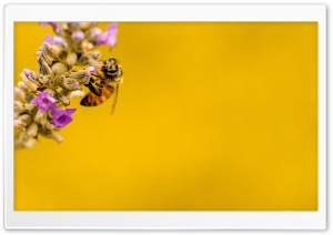 Bee, Lavender Plant, Yellow Background HD Wide Wallpaper for 4K UHD Widescreen desktop & smartphone