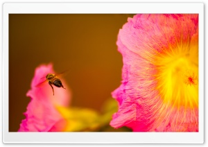 Bee Looking for Nectar HD Wide Wallpaper for Widescreen
