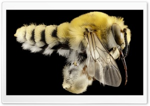 Bee Macro HD Wide Wallpaper for Widescreen
