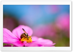 Bee On A Cosmos Flower HD Wide Wallpaper for Widescreen