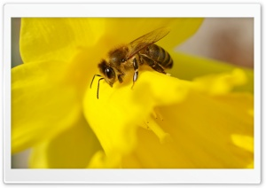Bee on a Daffodil HD Wide Wallpaper for 4K UHD Widescreen desktop & smartphone