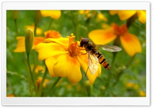 Bee On A Flower HD Wide Wallpaper for Widescreen