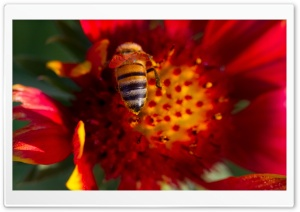 Bee On A Gaillardia Flower HD Wide Wallpaper for Widescreen