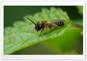 Bee On A Leaf HD Wide Wallpaper for Widescreen