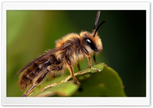 Bee On A Leaf Macro HD Wide Wallpaper for 4K UHD Widescreen desktop & smartphone