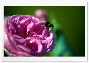 Bee On A Pink Rose HD Wide Wallpaper for Widescreen