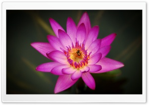 Bee on a Pink Water Lily Flower HD Wide Wallpaper for Widescreen